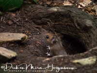 bosmuis_-_wood_mouse_-_apodemus_sylvaticus_20150625_1328433714