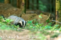 das_european_badger_meles_meles_20141220_2081222930