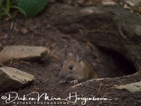 bosmuis_-_wood_mouse_-_apodemus_sylvaticus_20150625_1069621901