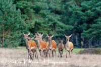 edelhert_red_deer_cervus_elaphus6_20141220_1159014350