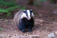 das_-_european_badger_-_meles_meles_young_male_20150625_2098946566