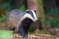 das_-_european_badger_-_meles_meles_female_20150625_1347420032