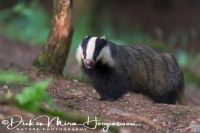 das_-_european_badger_-_meles_meles_20150625_1921204811