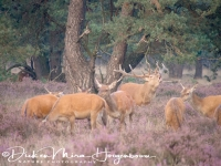 edelhert_red_deer_cervus_elaphus3_20141220_1165065396
