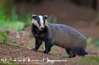 das_-_european_badger_-_meles_meles_male__20150625_1413934616