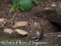bosmuis_-_wood_mouse_-_apodemus_sylvaticus_20150625_1457698673