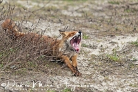 vos_red_fox_vulpes_vulpes_20141220_1687080078