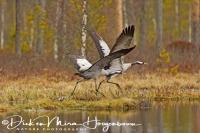 kraanvogel_vliegt-common_crane-kranich-grus_grus_20160501_1498577314