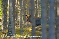 europese_bruine_beer-_eurasian_brown_bear-europaischer_braunbaer3_20160501_1622112827