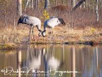 kraanvogel-common_crane-kranich-grus_grus_20160501_1414436716
