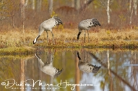 kraanvogel_reflectie-common_crane-kranich-grus_grus_20160501_1396913810