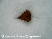 berkenblad_in_sneeuw-birch_leaf_in_snow-birkeblat_im_schnee_20160501_1817746121