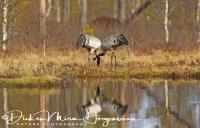 kraanvogel-common_crane-kranich-grus_grus__20160501_1253485713