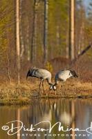 kraanvogel_staand-common_crane-kranich-grus_grus_20160501_2092263660