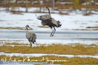 kraanvogel_balts-common_crane-kranich-grus_grus_20160501_2024804445