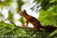 eekhoorn_-_red_squirrel_-_eichhoernchen_-_sciurus_vulgaris_20171015_1079766056