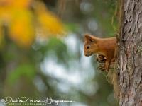 eekhoorn_-_red_squirrel_-_eichhoernchen_-_sciurus_vulgaris_mira_20171015_1561573486