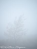 berk_in_mist_-_birch_in_fog_-_birke_im_nebel_20171015_1476634138