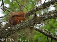 eekhoorn_-_red_squirrel_-_eichhoernchen_-_sciurus_vulgaris-_mira_20171015_1149699779
