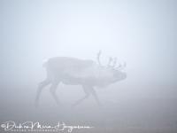 rendier_in_mist_-_reindeer_in_fog_-_rentier_im_nebel_-rangifer_tarandus-mira_20171015_1596994610