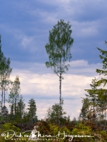 berk_in_landschap-birch_in_landscape-birke_in_landschaft_20180625_1957203904