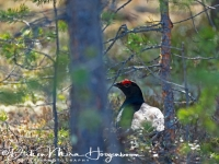 korhoen-black_grouse-birkhuhn-tetrao_tetrix_2_20180625_1534119438