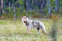 wolf-wolf-gray_wolf-canis_turdus_1_20180625_1496028742