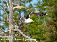 grote_mantelmeeuw-greatblack-backed_gull-mantelmoewe-larus_marinus_4_20180625_1906070509