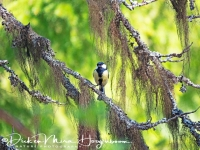 koolmees-great_tit-kohlmeise-parus_major_20180625_1299379880