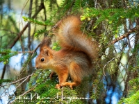 eekhoorn-red_squirrel-eichhoernchen-sciurus_vulgaris_20180625_1495255323