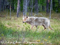 wolf-wolf-gray_wolf-canis_turdus_5_20180625_1513971465