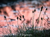 wollegras-cottongrass-wollgraeser-eriophorum_2_20180625_1665920650