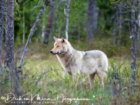 wolf-wolf-gray_wolf-canis_turdus_6_20180625_1495756466