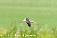 grote_mantelmeeuw-greatblack-backed_gull-mantelmoewe-larus_marinus_2_20180625_1863947758