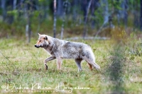 wolf-wolf-gray_wolf-canis_turdus_2_20180625_1015820734